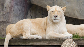 Female African white lion resting Stock Photography