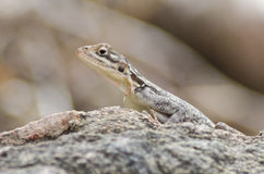 Female Agama lizard. At the Ruaha river, Tanzania Stock Photography