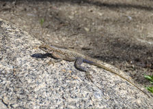 Female Agama Lizard Royalty Free Stock Images