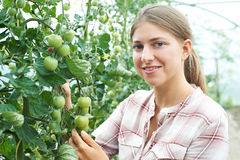 Female Agricultural Worker Checking Tomato Plants In Greenhouse Stock Images