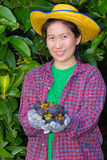 Female agriculturist hand showing mangosteens Stock Photography