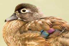 Female Aix Sponsa Wood Duck Royalty Free Stock Image