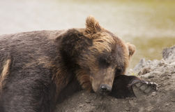 Female Alaskan brown bear Stock Image