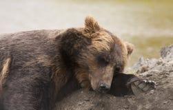 Female Alaskan brown bear Stock Image