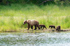 Female Alaskan brown bear with cubs Stock Image