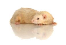 Female Albino Ferret Stock Photos