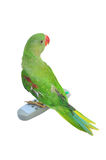 Female Alexandrine Parakeet. With remote control on white backgroud Stock Photography