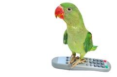 Female Alexandrine Parakeet Stock Photos