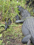 Female Alligator with Babies Stock Images