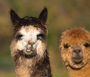 Female Alpacas on farm Stock Image