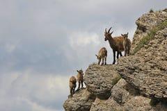 Female alpine ibex with babies Stock Photos