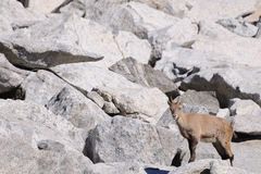 Female alpine ibex among boulders Royalty Free Stock Images