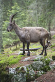 Female alpine ibex on a rock Royalty Free Stock Images