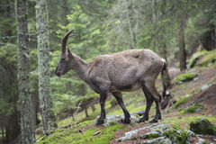 Female alpine ibex on the rocks in a wood Stock Photo