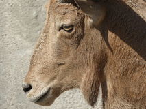 Female alpine ibex stock photography
