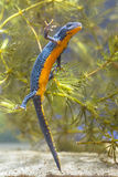 Female Alpine Newt Swimming through Vegetation Stock Image