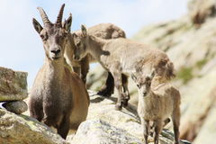 Female Alpine Steinbock with young Royalty Free Stock Photography