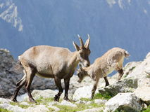 Female Alpine Steinbock with young Royalty Free Stock Photo