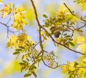 Female Amani Sunbird Royalty Free Stock Photography