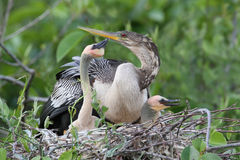 Female American Anhinga with Young at Nest - Everglades National Royalty Free Stock Photography