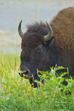 Female American Bison Stock Image