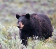 Female American Black Bear Ursus americanus in Yellowstone National Park in Wyoming Stock Images