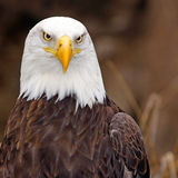 Female American Eagle. Close up female American Bald Eagle Stock Photography