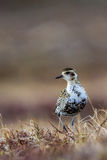 Female American Goldern Plover Royalty Free Stock Image
