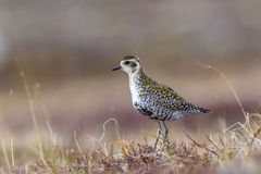 Female American Goldern Plover royalty free stock photography