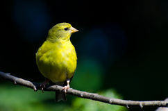 Female American Goldfinch Against A Green Background Royalty Free Stock Photography
