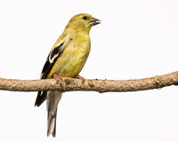 Female american goldfinch perch on a branch. Female american golfinch sing a song while perched on a branch. white background royalty free stock images