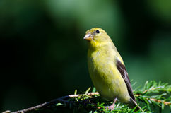 Female American Goldfinch Perched in an Evergreen Stock Images