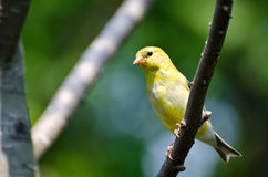 Female American Goldfinch Perched in a Tree Royalty Free Stock Photography