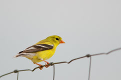Female american goldfinch Royalty Free Stock Images