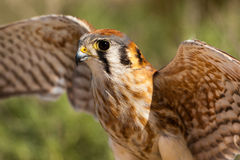 Female American Kestrel Stock Photo