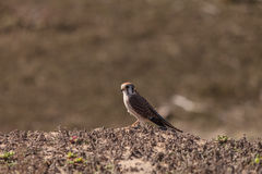 Female American kestrel bird, Falco sparverius Stock Photos