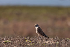 Female American kestrel bird, Falco sparverius Stock Photography