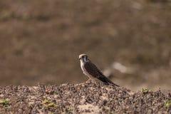 Female American kestrel bird, Falco sparverius Stock Photos