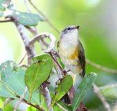 Female American Redstar. Taken in the wildlife refuge, Cabo Rojo, Puerto Rico Royalty Free Stock Photos