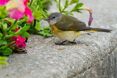 American Redstart. Female American Redstart checking out the red flowers Stock Photography
