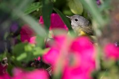 American Redstart Bird Hiding In Petunias. A female American Redstart forages for a meal among the petunias at Toronto`s Rosetta McClain Gardens Stock Photography