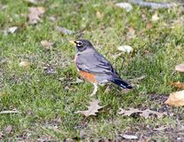 Female American robin standing in grass in Dallas, Texas. Pictured is a partial backview of a female American robin standing in grass in Dallas, Texas. It has a Royalty Free Stock Photography