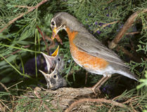 Female American robin (Turdus migratorius) feeding nestlings in the nest Royalty Free Stock Image