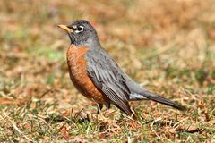 Female American Robin (Turdus migratorius). Looking for worms on a lawn in spring Royalty Free Stock Photos
