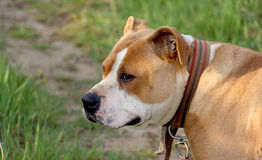 Female american staffordshire terrier, dog Stock Photos