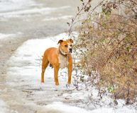 american staffordshire terrier dog on a snow Royalty Free Stock Images