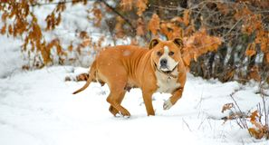 american staffordshire terrier dog on a snow Royalty Free Stock Photo