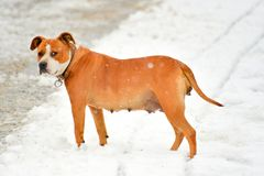 american staffordshire terrier dog on a snow Stock Photos