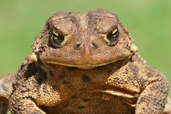 Female American Toad (Bufo americanus) Royalty Free Stock Photography