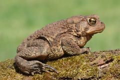 Female American Toad (Bufo americanus) Stock Photo